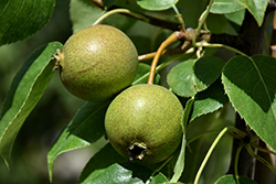 Golden Spice Pear (Pyrus ussuriensis 'Golden Spice') at Alsip Home and Nursery