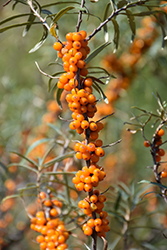 Sea Buckthorn (Hippophae rhamnoides) at Alsip Home and Nursery