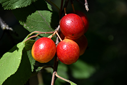 Canada Plum (Prunus nigra) at Alsip Home and Nursery