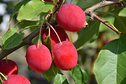 Dolgo Apple (Malus 'Dolgo') at Alsip Home and Nursery