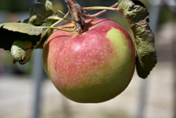 Fall Red Apple (Malus 'Fall Red') at Alsip Home and Nursery