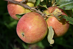Odyssey Apple (Malus 'Jefsey') at Alsip Home and Nursery