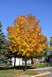 Unity Sugar Maple (Acer saccharum 'Unity') at Alsip Home and Nursery