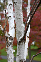 White Satin Birch (Betula utilis 'White Satin') at Alsip Home and Nursery