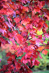 Red Maple (Acer rubrum) at Alsip Home and Nursery