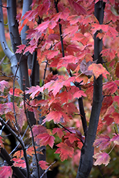 Autumn Spire Red Maple (Acer rubrum 'Autumn Spire') at Alsip Home and Nursery