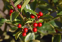Honey Maid Meserve Holly (Ilex x meserveae 'Honey Maid') at Alsip Home and Nursery