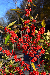 Winterberry (Ilex verticillata) at Alsip Home and Nursery