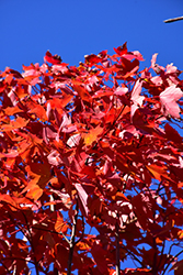 October Glory Red Maple (Acer rubrum 'October Glory') at Alsip Home and Nursery