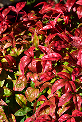 Fire Power Nandina (Nandina domestica 'Fire Power') at Alsip Home and Nursery