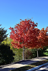 Crescendo Sugar Maple (Acer saccharum 'Morton Crescendo') at Alsip Home and Nursery