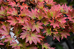 Siebold Maple (Acer sieboldianum) at Alsip Home and Nursery