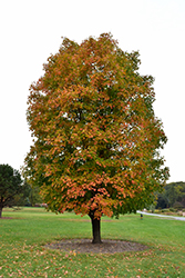 Sugar Maple (Acer saccharum) at Alsip Home and Nursery