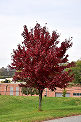 Brandywine Red Maple (Acer rubrum 'Brandywine') at Alsip Home and Nursery