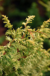 Tetragona Aurea Hinoki Falsecypress (Chamaecyparis obtusa 'Tetragona Aurea') at Alsip Home and Nursery