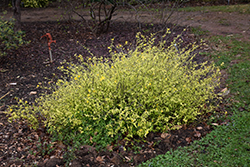 Chiba Gold Japanese Kerria (Kerria japonica 'Chiba Gold') at Alsip Home and Nursery