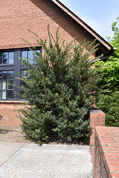 Japanese Yew (Podocarpus macrophyllus) at Alsip Home and Nursery