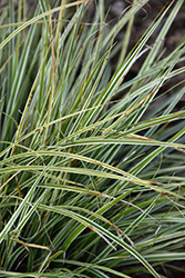 EverColor® Everest Japanese Sedge (Carex oshimensis 'Carfit01') at Alsip Home and Nursery