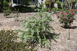 Snow Sprite Deodar Cedar (Cedrus deodara 'Snow Sprite') at Alsip Home and Nursery