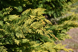 Gold Rider Leyland Cypress (Cupressocyparis x leylandii 'Gold Rider') at Alsip Home and Nursery