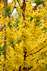 Gold Cluster Forsythia (Forsythia x intermedia 'Courtaneur') at Alsip Home and Nursery