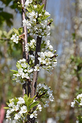 BlackIce Cherry-Plum (Prunus 'Lydecker') at Alsip Home and Nursery