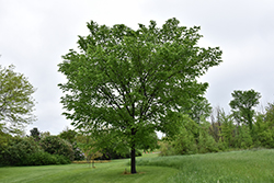 Valley Forge Elm (Ulmus americana 'Valley Forge') at Alsip Home and Nursery