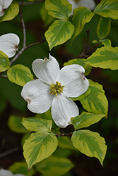 Rainbow Flowering Dogwood (Cornus florida 'Rainbow') at Alsip Home and Nursery