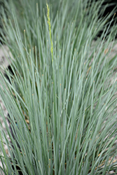 Sapphire Blue Oat Grass (Helictotrichon sempervirens 'Sapphire') at Alsip Home and Nursery