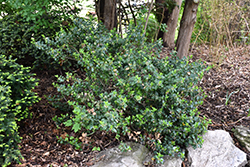 Blue Prince Meserve Holly (Ilex x meserveae 'Blue Prince') at Alsip Home and Nursery