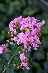 Delta Blush Crapemyrtle (Lagerstroemia indica 'Delta Blush') at Alsip Home and Nursery