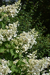 Pink Lady Hydrangea (Hydrangea paniculata 'Pink Lady') at Alsip Home and Nursery