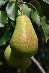 Patten Pear (Pyrus 'Patten') at Alsip Home and Nursery
