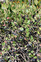 Black Chokeberry (Aronia melanocarpa) at Alsip Home and Nursery