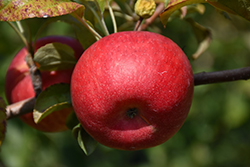 Connell Red Apple (Malus 'Connell Red') at Alsip Home and Nursery