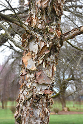 City Slicker River Birch (Betula nigra 'Whit XXV') at Alsip Home and Nursery