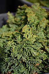 Hage Hinoki Falsecypress (Chamaecyparis obtusa 'Hage') at Alsip Home and Nursery