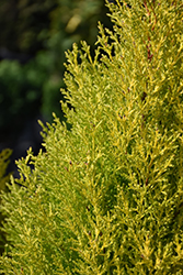 Wilma Goldcrest Monterey Cypress (Cupressus macrocarpa 'Wilma Goldcrest') at Alsip Home and Nursery