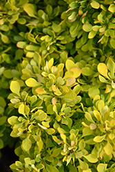 Tiny Gold Barberry (Berberis thunbergii 'Tiny Gold') at Alsip Home and Nursery