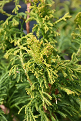 Sunny Swirl Hinoki Falsecypress (Chamaecyparis obtusa 'Sunny Swirl') at Alsip Home and Nursery