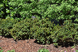Little Rascal® Meserve Holly (Ilex x meserveae 'Mondo') at Alsip Home and Nursery