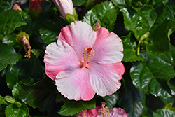 Tye-Dye Wind Hibiscus (Hibiscus rosa-sinensis 'Tye-Dye Wind') at Alsip Home and Nursery