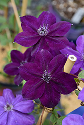 Amethyst Beauty Clematis (Clematis 'Amethyst Beauty') at Alsip Home and Nursery