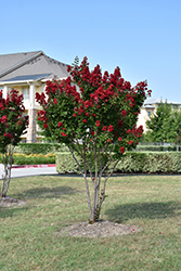 Dynamite® Crapemyrtle (Lagerstroemia indica 'Whit II') at Alsip Home and Nursery