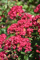 Petite Red Imp™ Crapemyrtle (Lagerstroemia indica 'Monimp') at Alsip Home and Nursery
