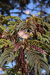 Summer Chocolate Mimosa (Albizia julibrissin 'Summer Chocolate') at Alsip Home and Nursery