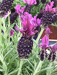 Anouk Spanish Lavender (Lavandula stoechas 'Anouk') at Alsip Home and Nursery